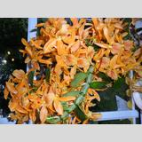 Zimmerpflanzen /Orchideenblüte