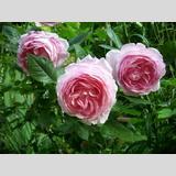 Lieblingsrosen /romantische Rose
