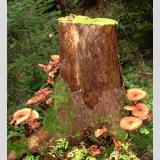 Stillleben /Pilze am Baumstumpf