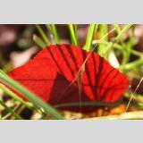 Blätter /Rotes Blatt