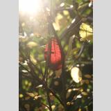Blätter /Rotes Blatt 2