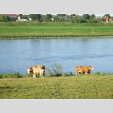 Tierwelt /Kühe am Elbufer