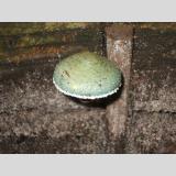 Pilzesammlung /Giftgrün