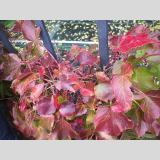 Blattwerk /Rote Blätter
