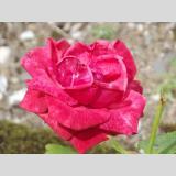 Sommerblumen /Red_Rose