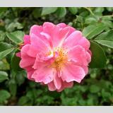 Blumen 3 /Roserot