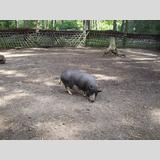 Tierwelt /Hängebauchschwein im Gehege