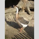 Vögel /Eine Gans im Profil