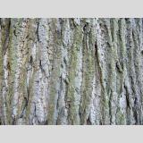 Bäume und Büsche 4 /Rinde, Linde