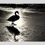 Wasservögel /Schwan im Gegenlicht