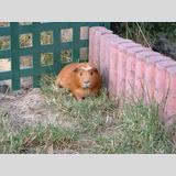 Tierwelt /rotes Meerschweinchen