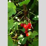 Früchte und Obst /Rote Johannisbeeren auf dem Strauch