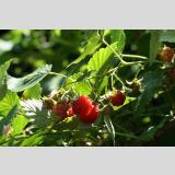 Früchte und Obst /In der Sonne reifen