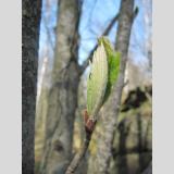 Blattwerk /Frühlingsbeginn