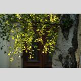 Blattwerk /Birke im Sonnenlicht