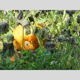 Herbstliches /Riesenkürbis