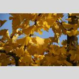 Blattwerk /Ginkgo im Herbst