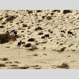 Tierwelt /Ziegen auf Futtersuche in der Wüste
