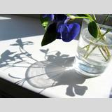 Aufgeblüht /ein Veilchen und sein Schatten