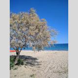 Bäume und Büsche 6 /Blühende Tamariske