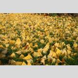 Herbstlaub /Ginkgoblätter
