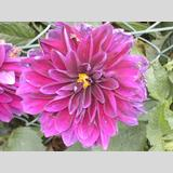 Blumen /Schöne Lila Blume