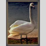 Wasservögel /Der Schwan