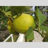 Früchte und Obst /Zitrone auf dem Baum
