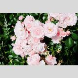 Sommerflor /Rosen