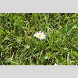 Sommerflor /Gänseblümchen