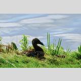 <Wasservögel /Ente mit Freund